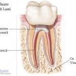 3. Site-Pentru Pacienți= Rubrica-Endodonția = SubDiviziunea - Tratamentul Propriu-Zis 5